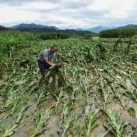 A villager lifts up fallen corn plants after a flood at a farm in Jianhe county, Guizhou province, China in July 2017. Photograph: Reuters