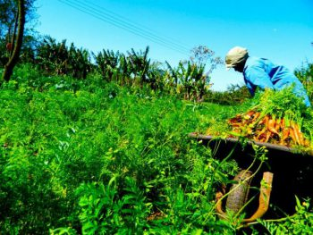 Vegetable gardens in the Copavi/Assentamento (Settlement) Santa Maria in Paraná (Photo by Mel Gurr)
