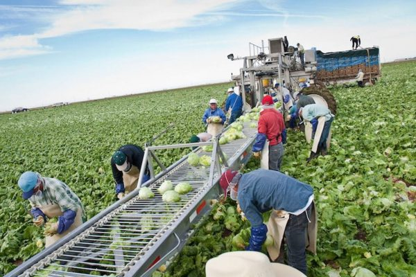 Latino field workers in Yuma, AZ