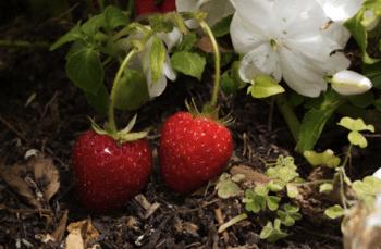 Screen shot of strawberries
