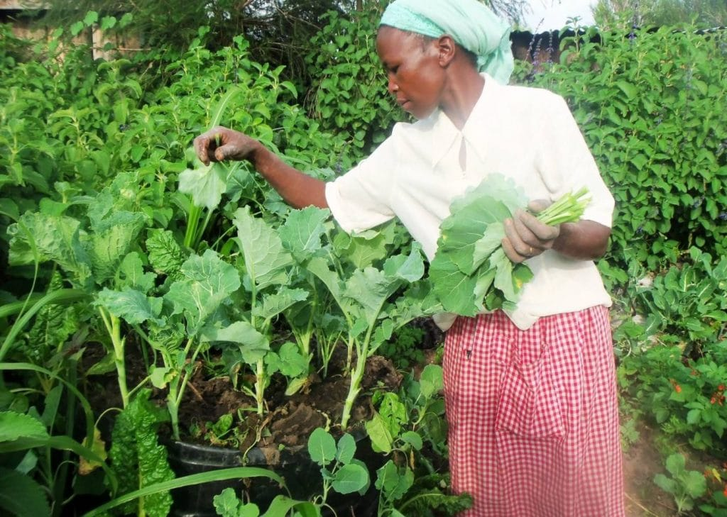 Kale harvest in central Kenya's Nturukuma region