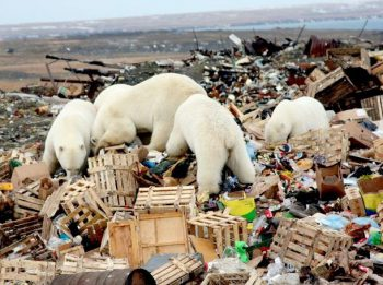 Polar Bears scavenging a garbage dump in the Arctic