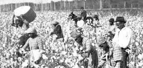 Slaves picking cotton.