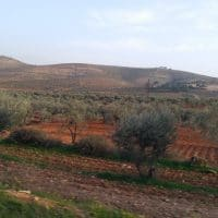 Olive groves in a village on the outskirts of Afrin that was under attack