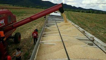Corn harvest in El Maizal (Photo: Prensa El Maizal)