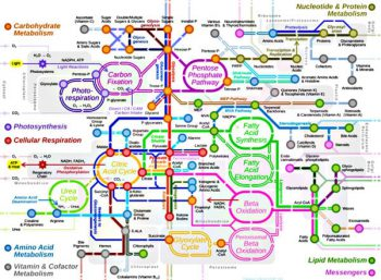 Mape of cellular metabolic system