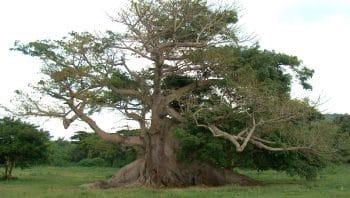 A Ceiba in the Venezuelan Llanos. (Archive)