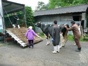 Getting cows into trailer to go to slaughter.