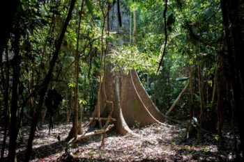 The rainforest in Uru-Eu-Wau-Wau territory on April 22, 2019. Indigenous leaders are promoting alternatives to clear-cutting, such as medical research, ecotourism, and sustainable food industries like açaí, Brazil nuts, and fruit. Photo: Gabriel Uchida