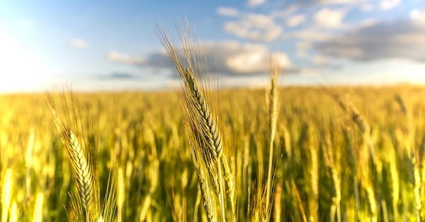 New research published in the journal Scientific Advances raises concerns about how droughts will impact the world's wheat production—and food security—in the coming decades. (Photo- Pixabay)