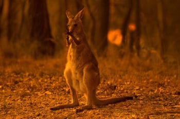 A wallaby licks its burnt paws after escaping a bushfire near the township of Nana Glen in New South Wales in November 2019. WOLTER PEETERS:THE SYDNEY MORNING HERALD VIA GETTY IMAGES