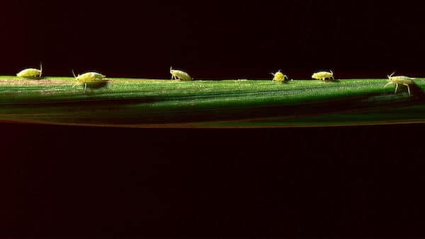 Researchers are studying whether aphids and other insects could be used to transmit viruses that help protect plants. LARRY MAYER/GETTY IMAGES