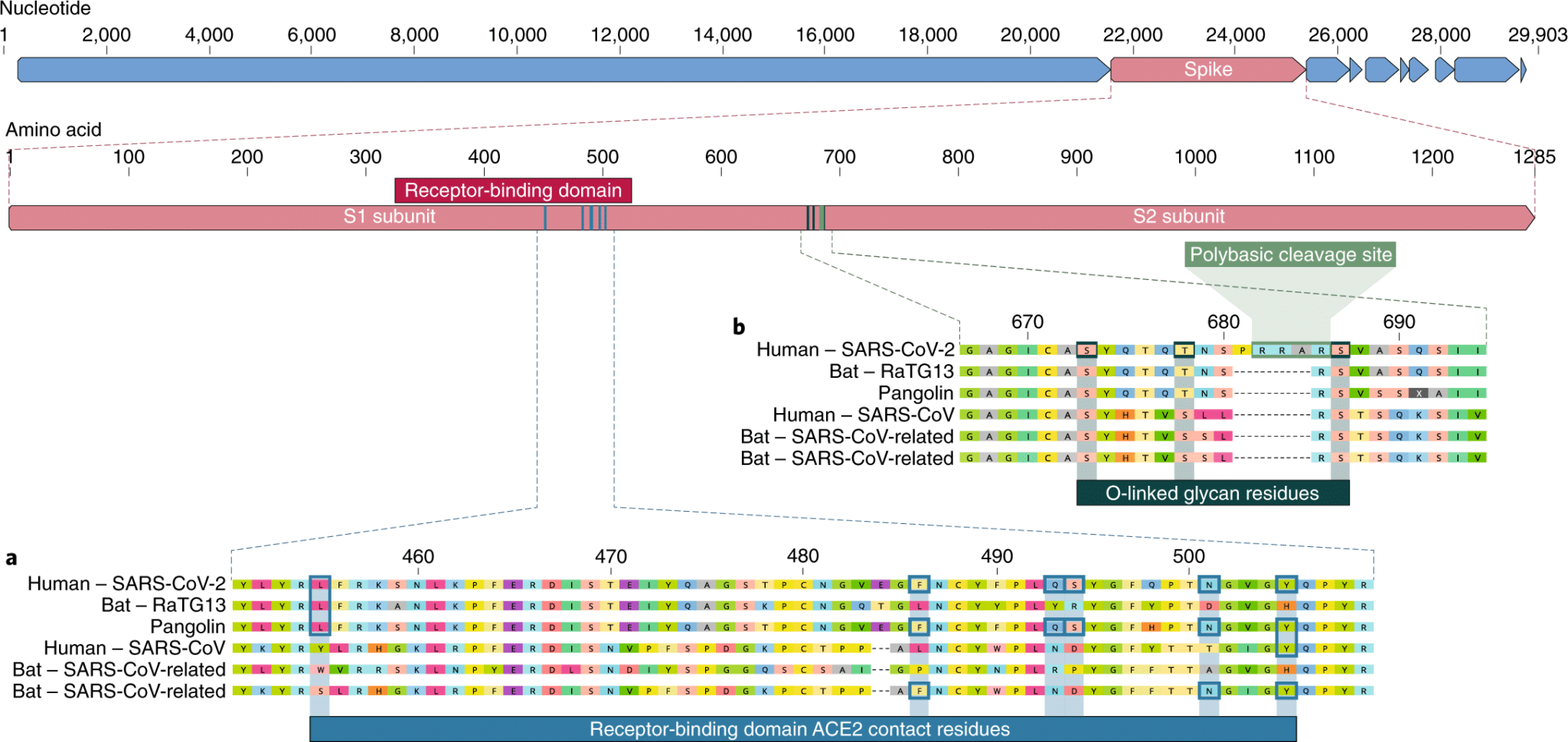 a, Mutations in contact residues of the SARS-CoV-2 spike protein. The spike protein of SARS-CoV-2 (red bar at top) was aligned against the most closely related SARS-CoV-like coronaviruses and SARS-CoV itself. Key residues in the spike protein that make contact to the ACE2 receptor are marked with blue boxes in both SARS-CoV-2 and related viruses, including SARS-CoV (Urbani strain). b, Acquisition of polybasic cleavage site and O-linked glycans. Both the polybasic cleavage site and the three adjacent predicted O-linked glycans are unique to SARS-CoV-2 and were not previously seen in lineage B betacoronaviruses. Sequences shown are from NCBI GenBank, accession codes MN908947, MN996532, AY278741, KY417146 and MK211376. The pangolin coronavirus sequences are a consensus generated from SRR10168377 and SRR10168378 (NCBI BioProject PRJNA573298)29,30.
