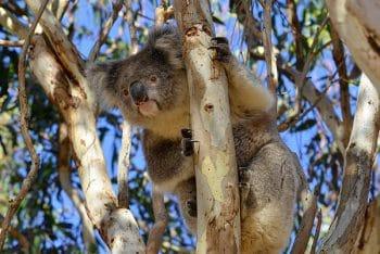Koala poses for the camera in Vivonne Bay, Kangaroo Island, South Australia, Australia. Photo: Chris Fithall/CC BY 2.0