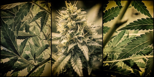 | Cannabis | MR Online