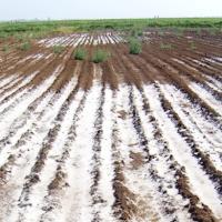 Salinized soil fields in Ethiopia
