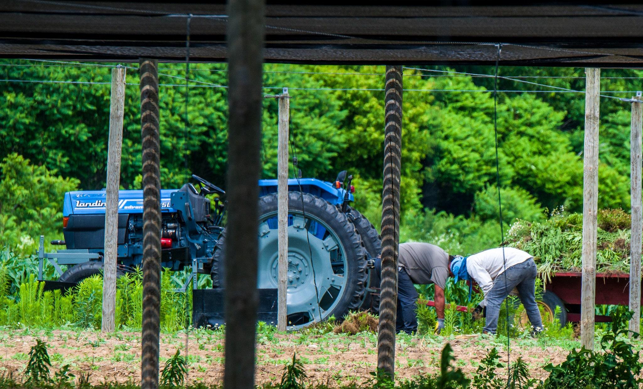 | Migrant farm labourers at work in Vittoria Ontario | MR Online