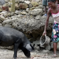 Pigs and Canadian imperialism